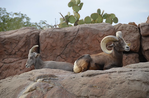 Desert Museum Ram and Ewe