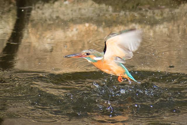 20180126-kingfisher-DSC_5709