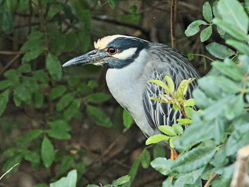 Yellow-crowned Night-Heron 02-20180206