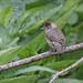 curruca capirotada ♀ (Sylvia atricapilla)
