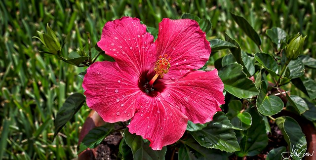Simply Hibiscus