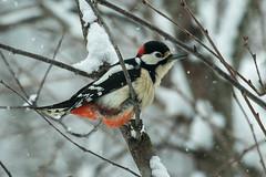 Great Spotted Woodpecker - Montevecchia - LombardyFJ0A0202