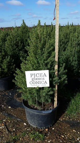 Picea glauca Conica 5 gal 24-30 | by Johnson Farms
