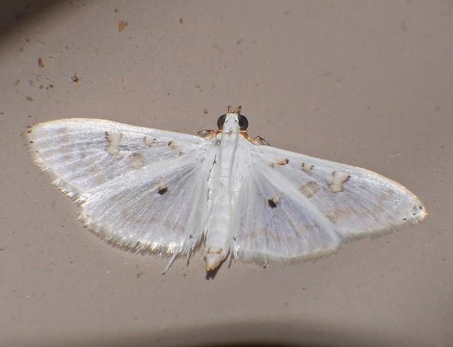Albino Crambid Moth Cirrhochrista, Panasonic DMC-G85, Lumix G X Vario PZ 45-175mm F4.0-5.6 Asph. Power OIS