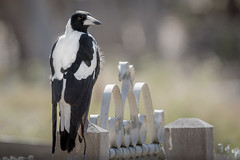Australian Magpie at School Gate