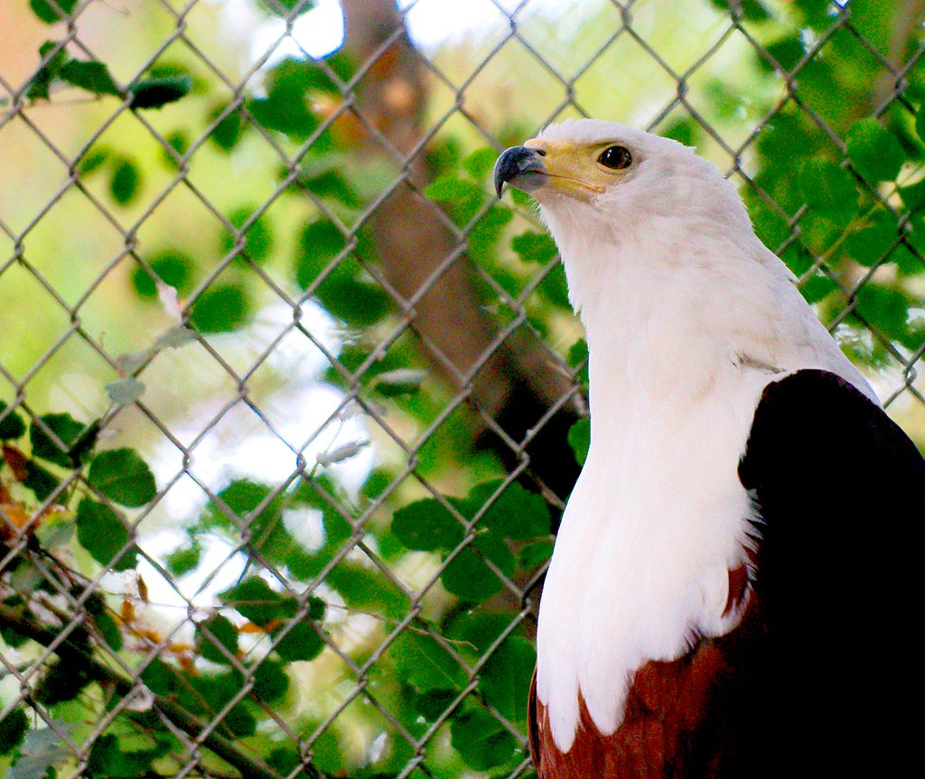African Fish Eagle_2