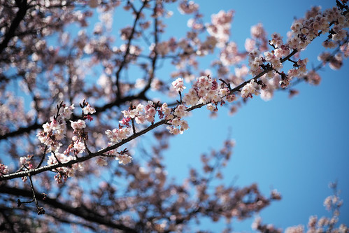 winter cherry blossoms