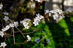 Irisvej 15 (blomstrende træ) - DSC_4983_4_5_Balancer