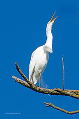 great egret 5884
