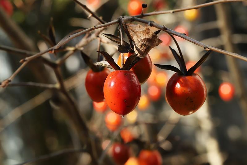 Diospyros rhombifolia  ロウヤガキ