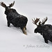 Bull Moose in Deep Snow