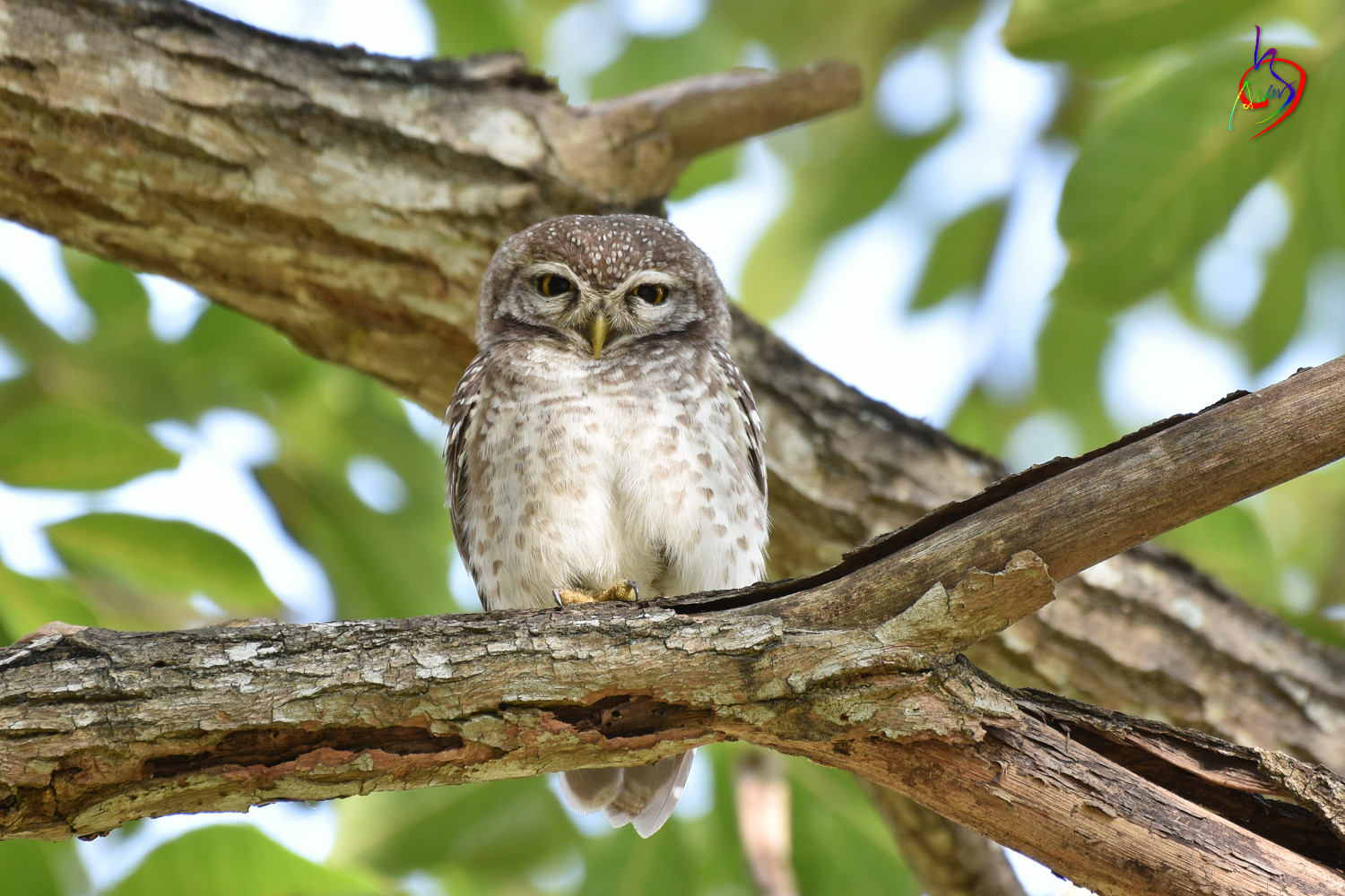 Spotted_Owlet_3944