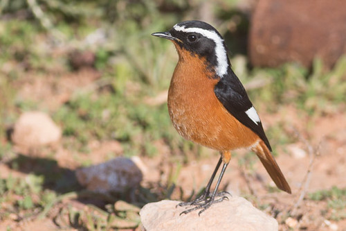 Moussier's Redstart   - male