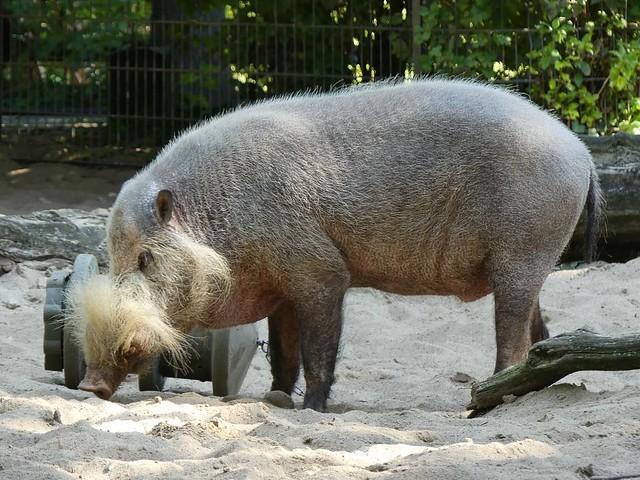 Bartschwein, Zoo Berlin