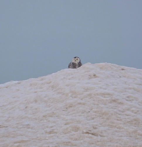 Snowy Owl - Montrose Beach, Chicago. Photographer Ted Nelson