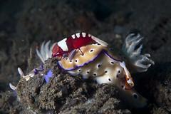 Hypselodoris tryoni + Zenopontonia rex (Emporer shrimps)