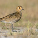 golden plover by leonardo manetti