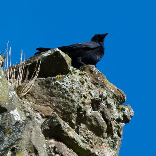 Carrion crow on castle ruins, Bridgnorth