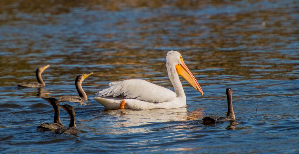 Cormorants and Pelican