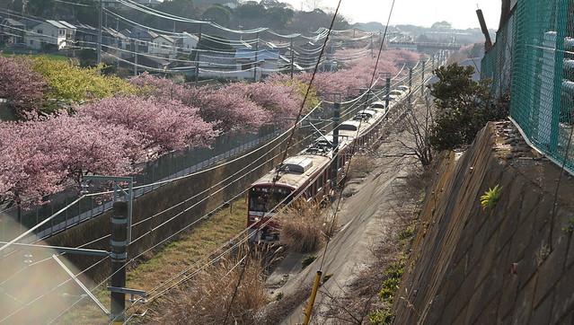 DSC07124三浦海岸桜まつり
