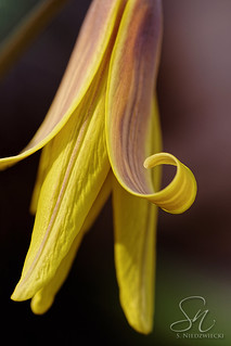 Trout Lily 9603-13