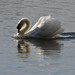 Combatative Mute Swan (Cygnus olor)