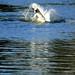 Swan bathing vigorously, West Park