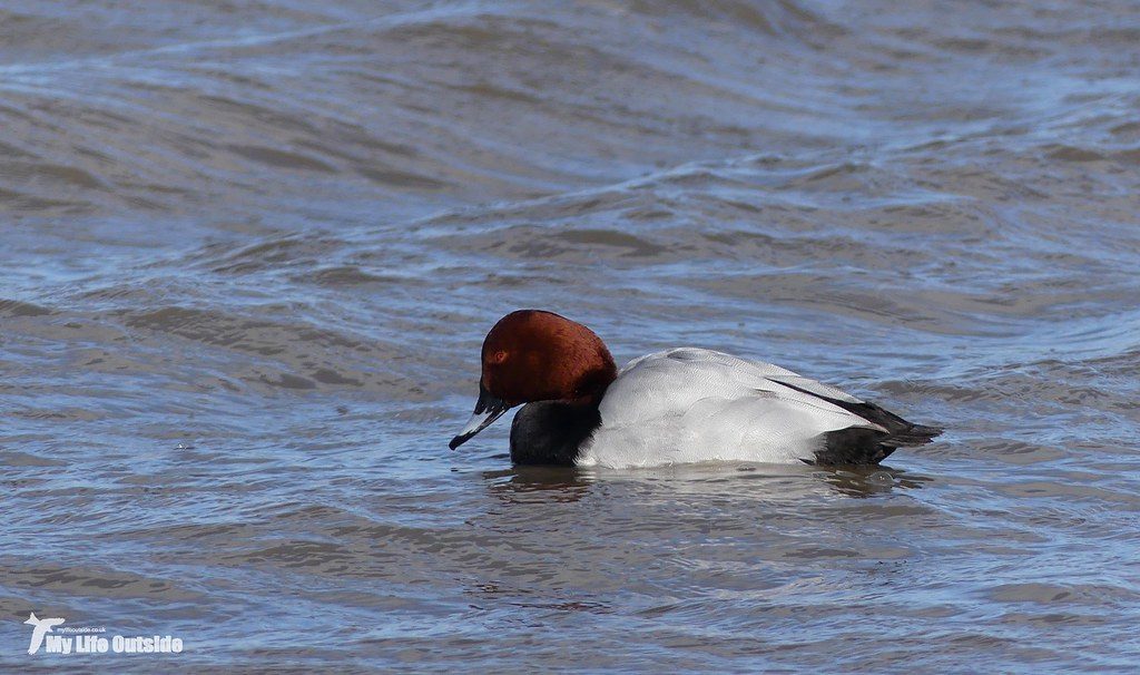 P1130470 - Pochard, Slimbridge WWT