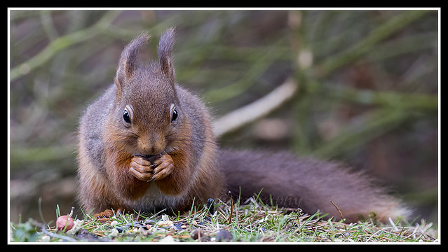 IMG_0117 Red Squirrel