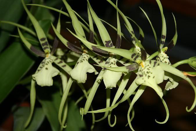 Les orchidées chez Sougriwa - Page 3 24948585927_11a42b43b9_b