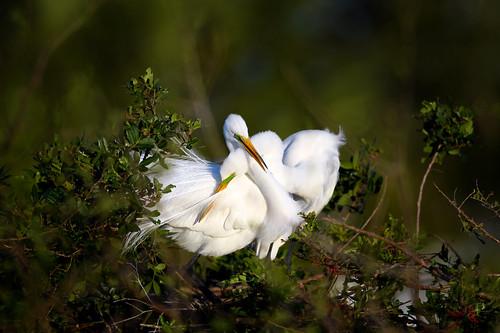 greategret ardeaalba breedingplumage elegantcourtship nestingseason sunrise courtship cuddling egret venicerookery venice florida