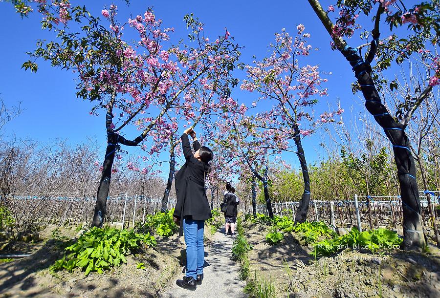 芬園花卉休憩園區-櫻花園區201812