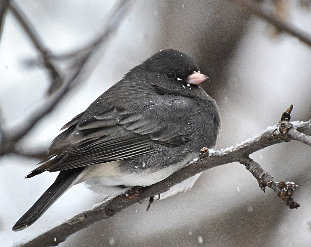 Finally Got A Shot Of The Elusive Dark Eyed Junco!