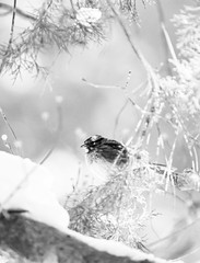 A Carolina Wren perched in a snowy tree, contemplating what only birds can contemplate