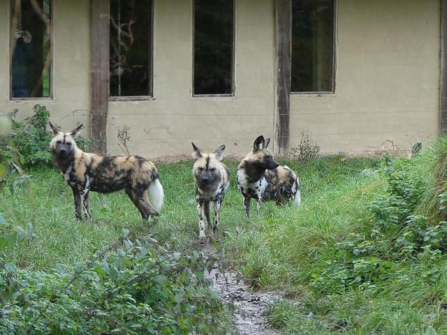 Wildhunde, GaiaZOO