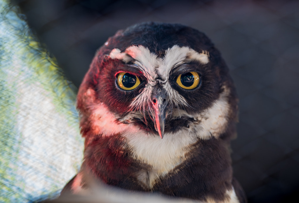 Spectacled Owl_6