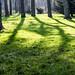Into the Woodland sun