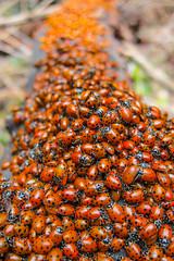 Redwoods Ladybug Cluster
