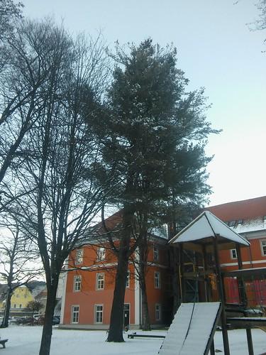 Pinus strobus 20180118_160604