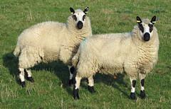 Kerry Hill sheep seen near Elsham