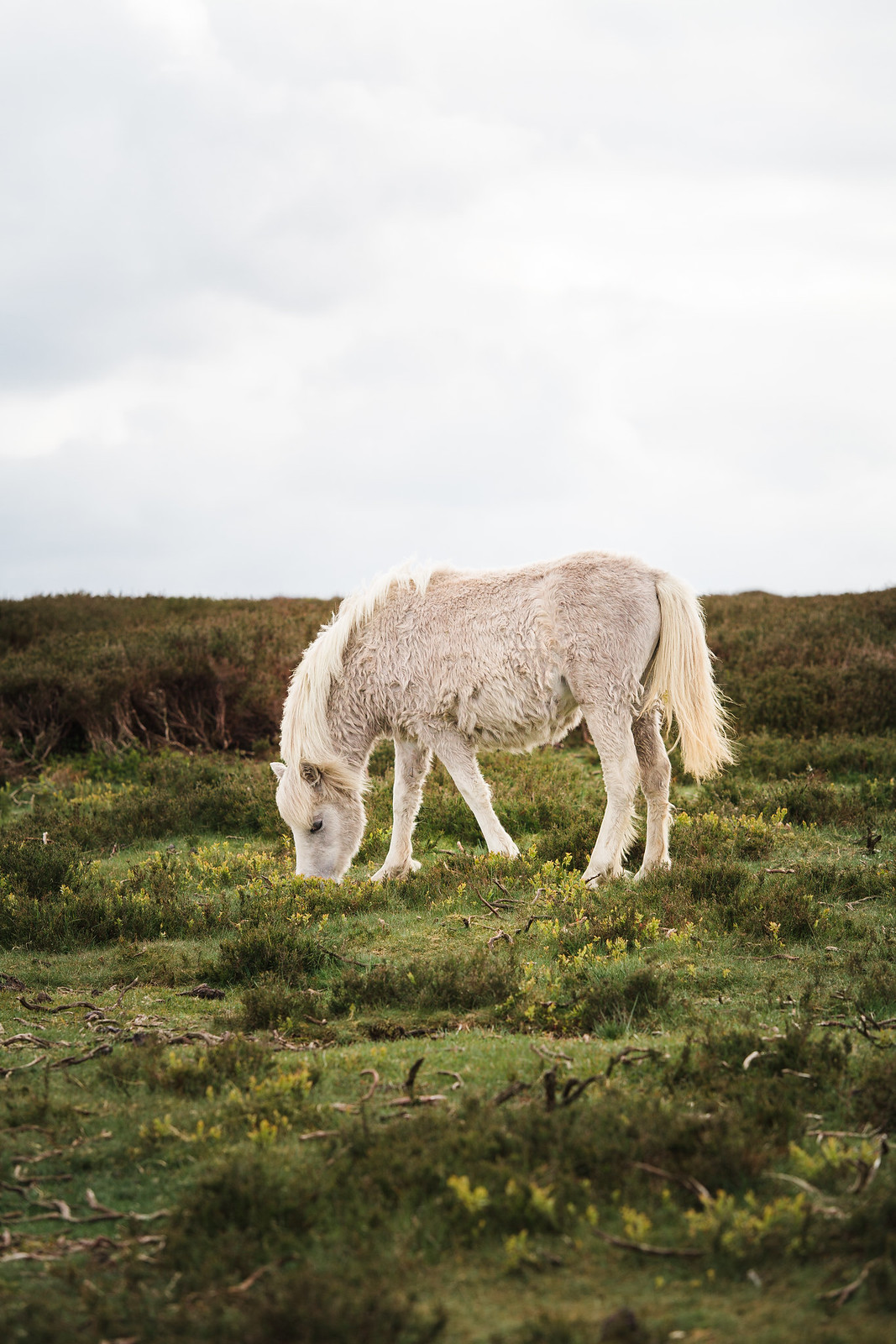 Wild Ponies on the Long Mynd in Shropshire.