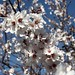 Almond trees in bloom. II