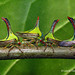 Umbonia crassicornis (Membracidae) by luismiguel.constantino1