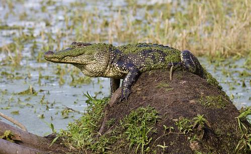circleb alligator nest lakeland outdoor sky water nature wildlife 7dm2 canon florida bird