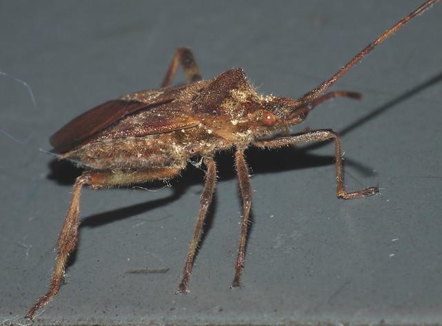 Moving or Walking Western Conifer Seed Bug DSCF5923