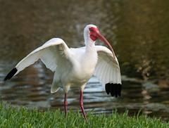 White Ibis-River Club-Bradenton Florida