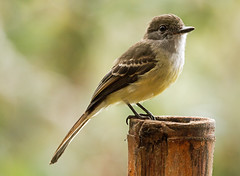 IMG_3418    Pale-edged Flycatcher
