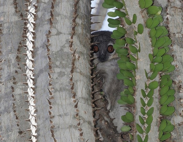 Sportive Lemur In Cactus