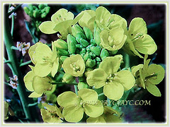 Mesmerising 4-petaled flowers and buds of Brassica pekinensis (Chinese Cabbage, Napa Cabbage, Peking Cabbage, Celery Cabbage), 12 Jan 2018