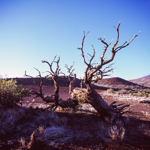 "Image titled ""Tree, On Mauna Kea."""